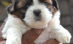 Hello guys, Here i have posted my orginal shihtzu puppy