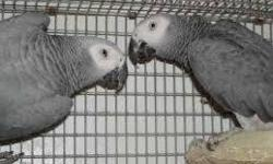 african grey parrot babies, Mumbai for Sale in Malad West