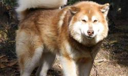 The Alaskan Malamute // is a large breed of domestic