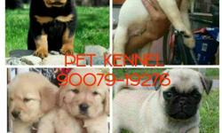 All breed Show quality puppy available with paper