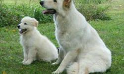 All Types Of Only Pure Dog Breed Import & Indian