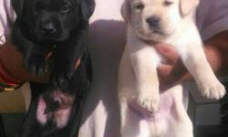 All heavy BREEDS PUPPIES AVAILABLE LABRADORS available
