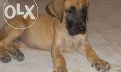 all types of breed Vet Checked and Certified great dane
