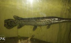 Fine looking 11 inches alligator with 2�1 feet fish