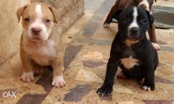 Best quality America Pit bull Puppies for Sale. Both