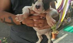 american bully male female pups male 18000 female 16000