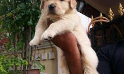 American Import Golden Brown Golden RETRIEVE Puppies