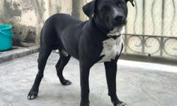 pitbull dog for sale in Punjab Classifieds & Buy and Sell in Punjab
