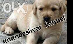 import line labrador pupps available just at