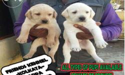 Imported quality labrador puppies for sale Very active
