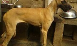 Great Dane male 3 month old dog sale in dhenkanal town.