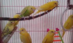 Home bred baby budgies for sale very healthy and