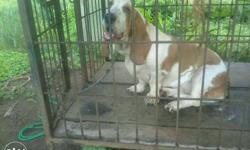 Lemon And White Basset Hound female.2 years old.contact