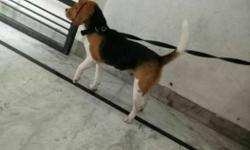 Beagle female sale tri color top quality champion