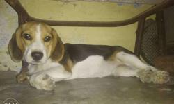 beagle. male. 4.5 months all vaccination completed.