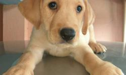 beautiful Labrador retriver puppy is available now. 2