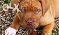 best dog kennel Make a good quality FRENCH MASTIFF pup