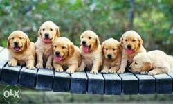 Show quality Golden retriever puppies available pure