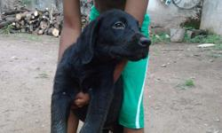 lab female puppies best quality