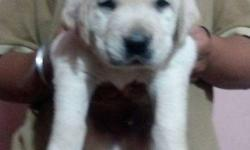show quality puppies active and healthy face free home