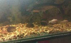Big Fish tank with 2 big shark and 2 white gold fish &