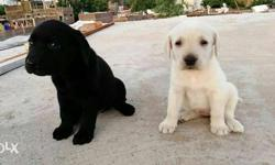 Two White-and-black Short Coat Dogs