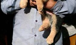 show quality heavy bones german shepherd puppies