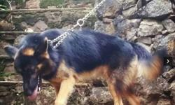 German Shepherd For Sale In Kerala Classifieds Buy And Sell In Kerala Indialisted Com