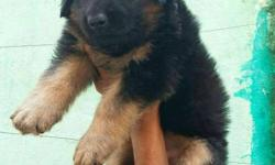Black And Tan gsd Puppies ,99.52.86.75.39