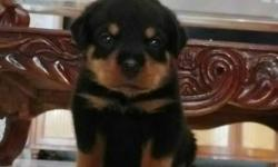 Black And Tan Rottweiler Puppy (male) pure