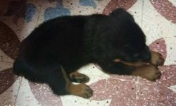 Black And Tan Rottweiler Puppy with ready kci