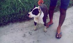 Black And White American Bully