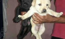 black and white labradore puppies available male 10000