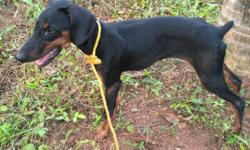 Doberman male pup for sale 5 months old good lineage