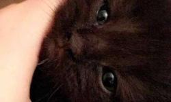 Black female persian cat 2months old
