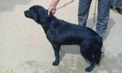 black labrador female 1year5month old sell.call me
