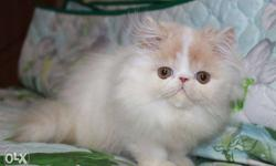 beautiful and friendly nature all Persian kitten and