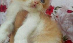 Blue eyes golden color pure persion kitten..cash on