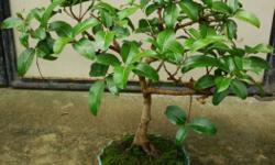 Bonsai trees 1000 to 2500