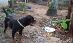 Rott weiler 1year old female very friendly silent .very