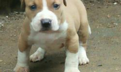 Brown And White American Bully Puppy
