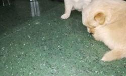 brown pomperian puppies male 4000 female 3000