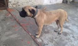 Bull mastiff Female sell ja exchange age 2 sal 6 month