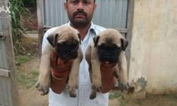 Good health good quality pups available contact soon