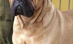 �� bull mastiff �� pup are sell � testify kennel