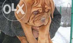 Bullet kennel Healthy French mastiff pups ready To go