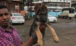champion line German Shepard male female puppies for