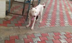 chat me bully dog, 6 months, fixed price 9000 Rs