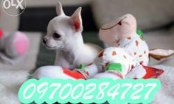 Chihuahua healthy and good quality male , female