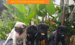 "Show Quality ""All Type Of Breed Puppies Available """